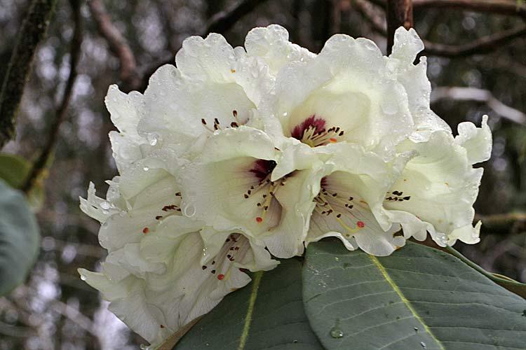 Crarae - Rhododendron ne fleurit pas ...