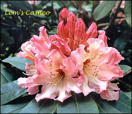 rhododendron Lem's Cameo