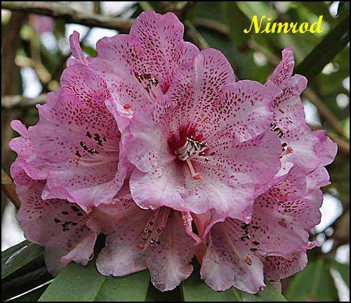 rhododendron Nimrod