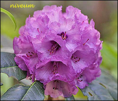 rhododendron niveum