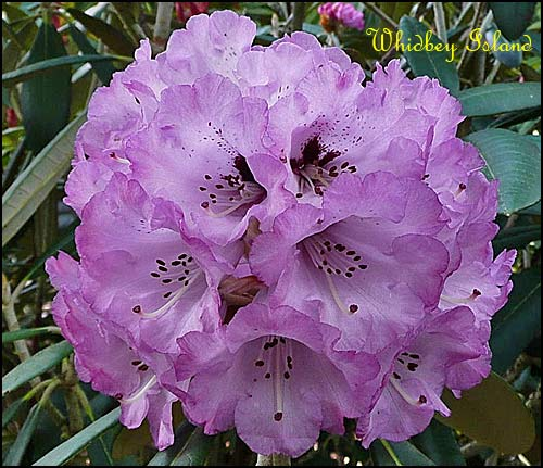 rhododendron Whidbey Isalnd
