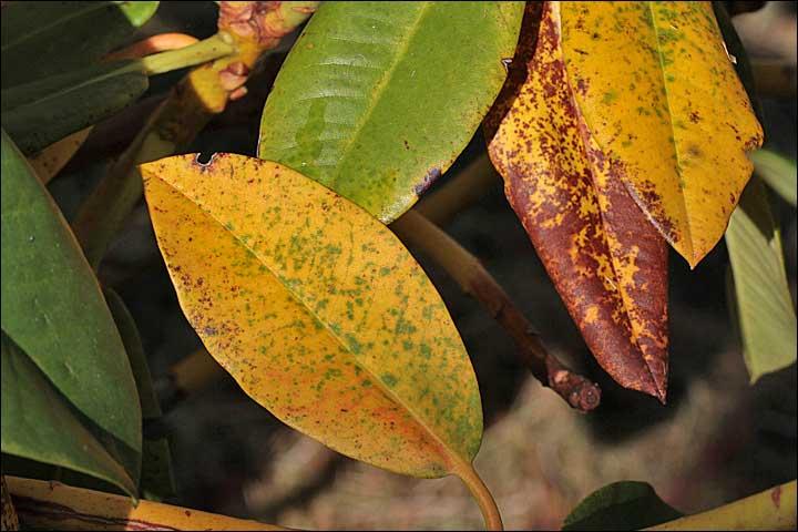 Pin couleurs d automne fond ecran paysage on pinterest for Eleagnus maladie feuilles jaunes