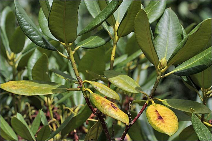 S nilit for Amaryllis ne fait que des feuilles